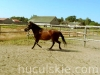 granda2-konie-huculskie
