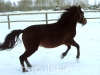 granda4-konie-huculskie