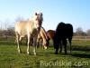 Jesien2011-konie-huculskie-1