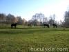 Jesien2011-konie-huculskie-14