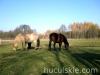 Jesien2011-konie-huculskie-15
