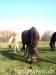 Jesien2011-konie-huculskie-16