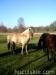 Jesien2011-konie-huculskie-17