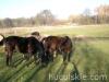 Jesien2011-konie-huculskie-18
