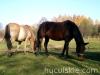 Jesien2011-konie-huculskie-20