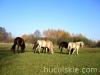 Jesien2011-konie-huculskie-23