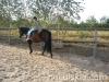 Jesien2011-konie-huculskie-7