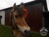 Huculskie jesień konie 2