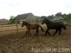 lato2008-konie-huculskie-3
