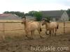 lato2008-konie-huculskie-4