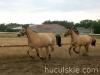 lato2008-konie-huculskie-5