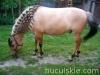 lato2009-konie-huculskie-12