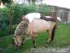 lato2009-konie-huculskie-13