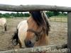 lato2009-konie-huculskie-17