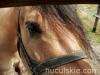 lato2009-konie-huculskie-18