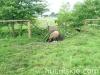 lato2009-konie-huculskie-20