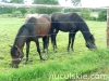 lato2009-konie-huculskie-22