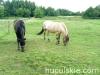 lato2009-konie-huculskie-23