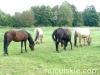 lato2009-konie-huculskie-24