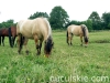 lato2009-konie-huculskie-25