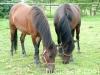 lato2009-konie-huculskie-26