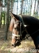 lato2009-konie-huculskie-29