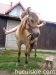 lato2011-konie-huculskie8
