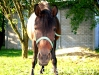 piosenka-konie-huculskie-6
