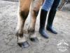 13 Konie Huculskie nauka jazdy