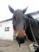 14 Konie Huculskie nauka jazdy