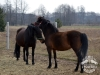 22 Konie Huculskie nauka jazdy