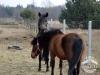 23 Konie Huculskie nauka jazdy