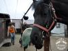 26 Konie Huculskie nauka jazdy