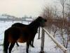 zima2011-konie-huculskie-10