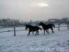 zima2011-konie-huculskie-12