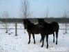 zima2011-konie-huculskie-13
