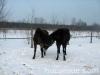 zima2011-konie-huculskie-14