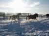 zima2011-konie-huculskie-2