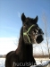 zima2011-konie-huculskie-5