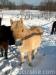 zima2011-konie-huculskie-6