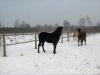 zima2011-konie-huculskie-7