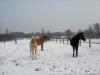 zima2011-konie-huculskie-8