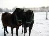 zima2011-konie-huculskie-9