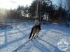 1 konie huculskie zima